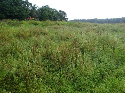 アラフエラ湖の稲畑
