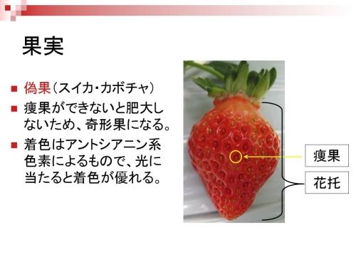 イチゴのツブツブは果実じゃない!?