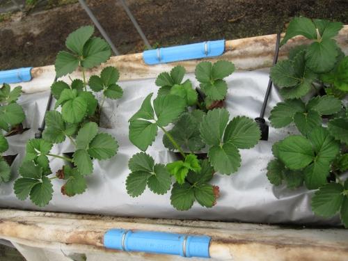 イチゴの袋栽培
