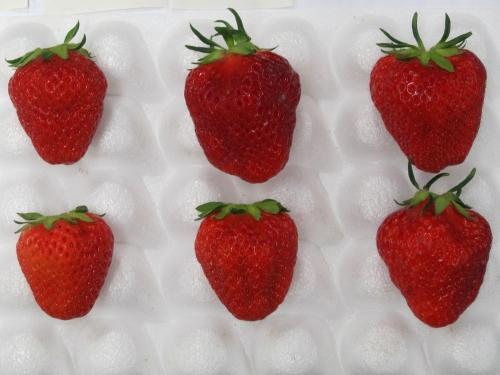 イチゴ女峰の果実