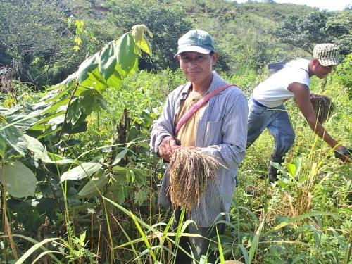イネの収穫