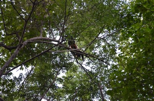エコべナオにいた野生の猿