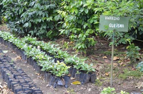 ゲイシャコーヒーの苗木