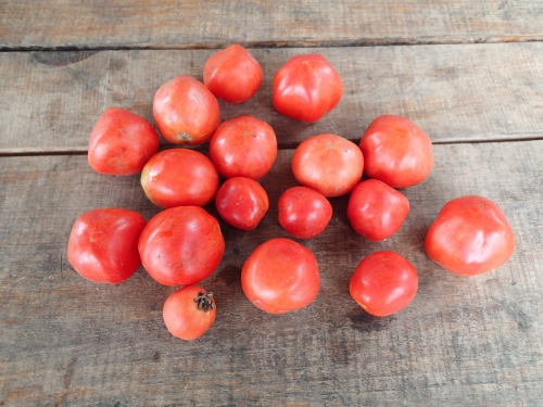 コミュニティで採れたトマト