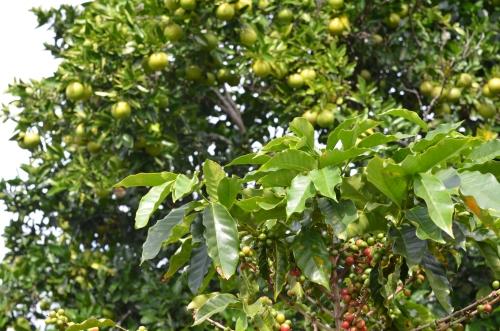 コーヒーと混植栽培されるオレンジの木