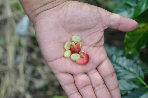 コーヒーの実と中に入ったコーヒー豆