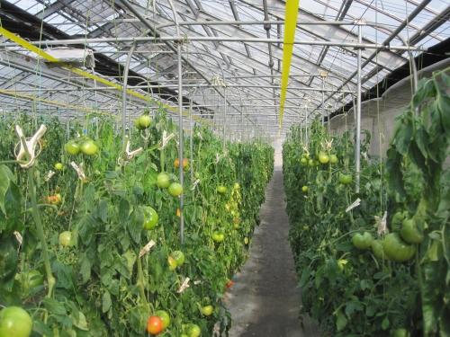 トマトの大規模栽培