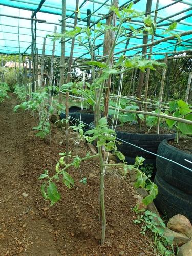 トマトの移植