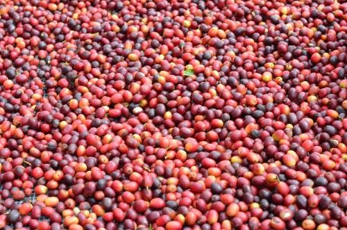 ナチュラル乾燥方法のコーヒー豆