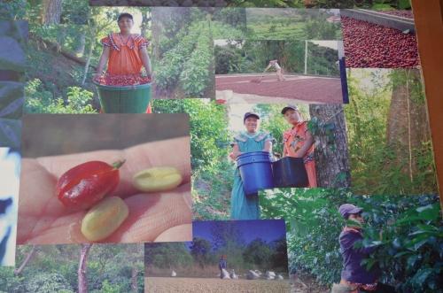 パナマのコーヒーゲイシャの生産農場の写真