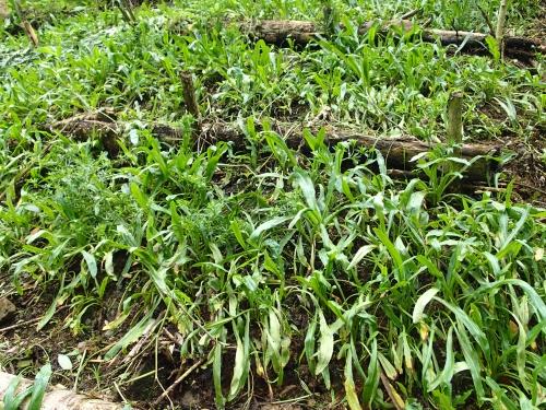 パナマの香草