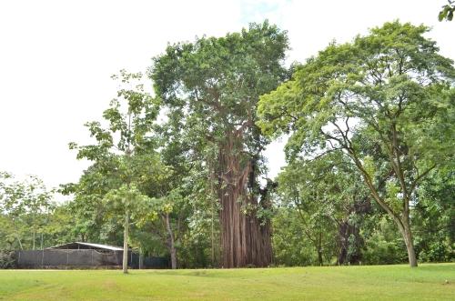 パナマ・ビエホ内の巨木