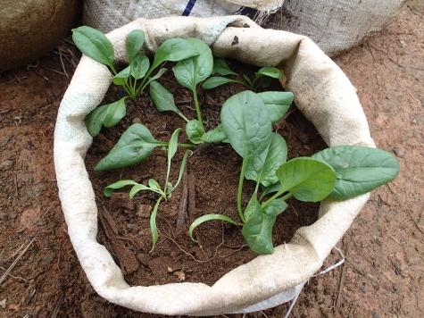 ホウレンソウの袋栽培