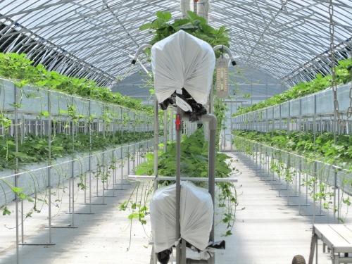 ランナーを伸ばしたイチゴの二段ベッド栽培施設