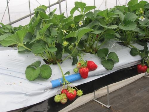 四季成り性イチゴの研究