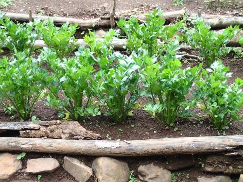 学校菜園のセロリ