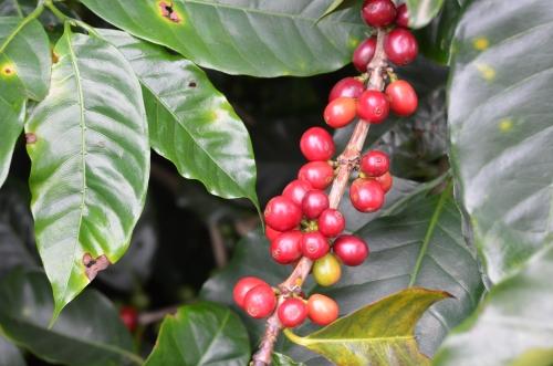 完熟したコーヒーの実