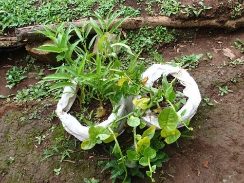 空心菜とツルムラサキの袋栽培
