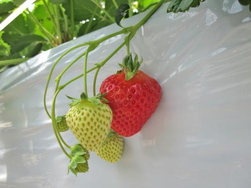 苺の花房についた巨大な一番果