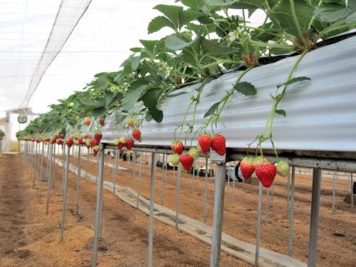 イチゴの高設促成栽培