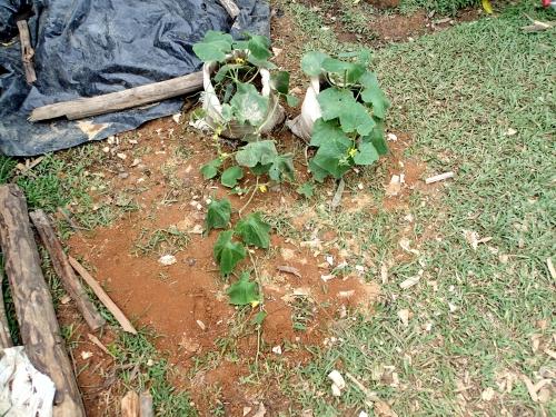 キュウリとネギのコンパニオンプランツの試験栽培