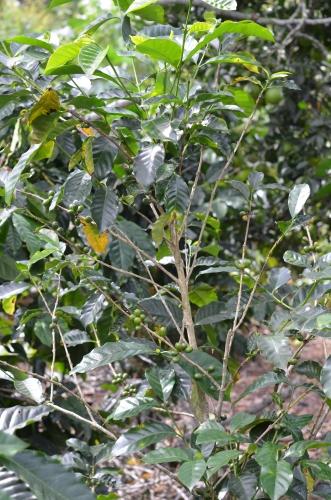 コーヒー品種ゲイシャの木