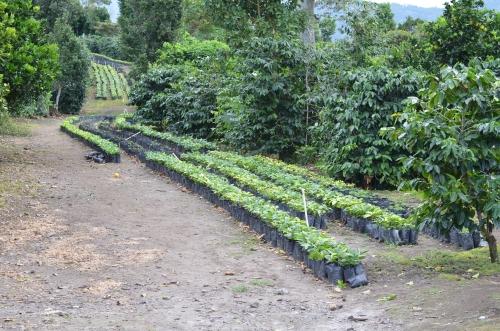 コーヒー農園の苗床