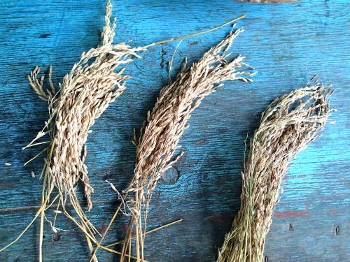 チャグレスの三種類の稲