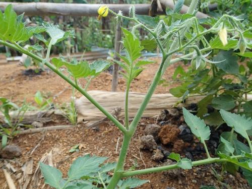 トマトの脇芽を取る