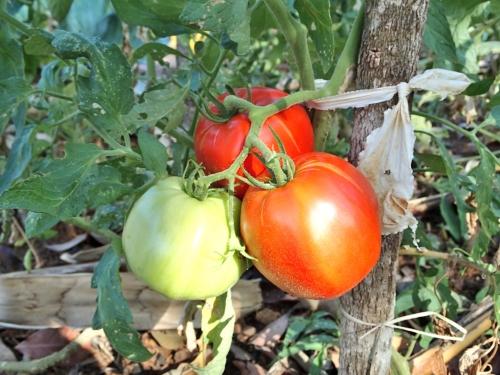 トマトの赤い実