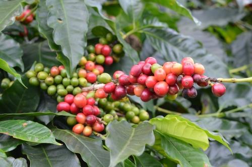 パナマのコーヒーチェリー