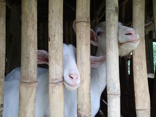 パナマの学校菜園で飼育中のヤギ