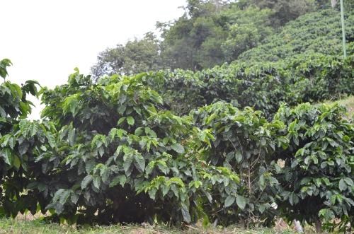 ボケテの道端に生えるコーヒーの木
