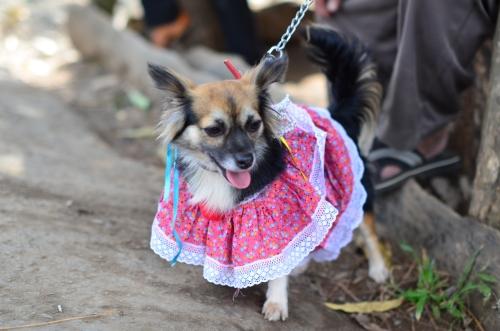 ポジェーラを着た犬