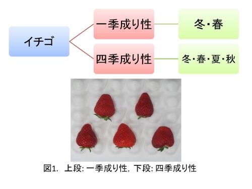 一季成り性イチゴと四季成り性イチゴの違い