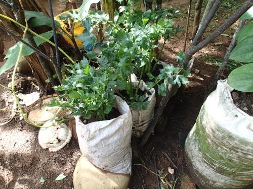 半日陰で袋栽培