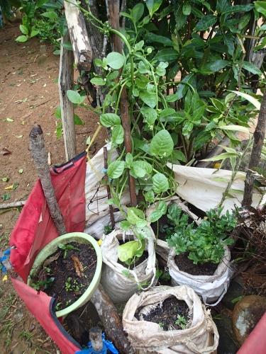 囲いがある袋栽培