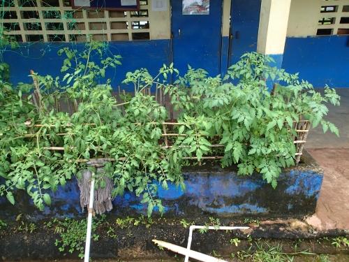 在来トマト品種とF1品種