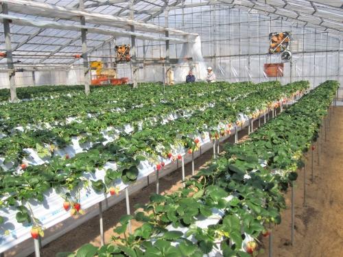 大型暖房機と二重ビニールハウスのイチゴ栽培