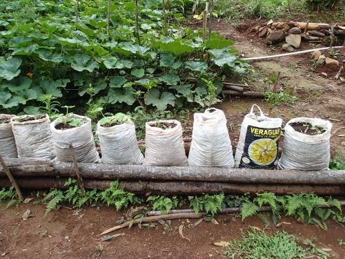 学校菜園での袋栽培