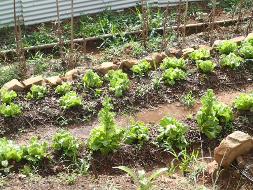 学校菜園のレタス