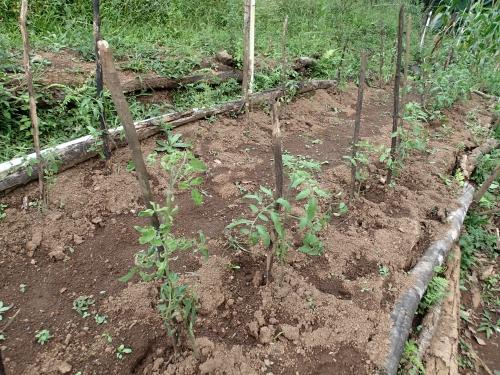 定植され支柱を建てられたトマト