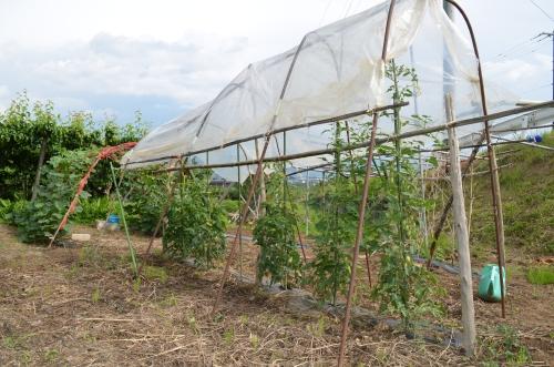 家庭菜園のトマトの雨除け栽培