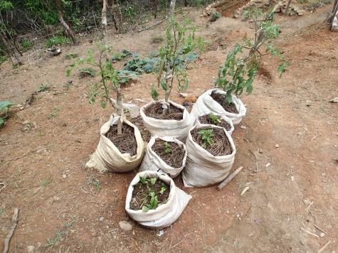 数種類の袋栽培