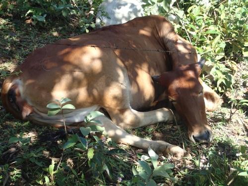 昼寝中の牛
