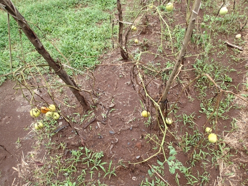 栽培期間が短いトマト