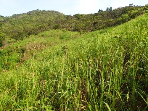 焼畑農業の陸稲畑