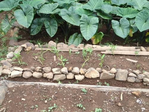 空心菜の挿し芽