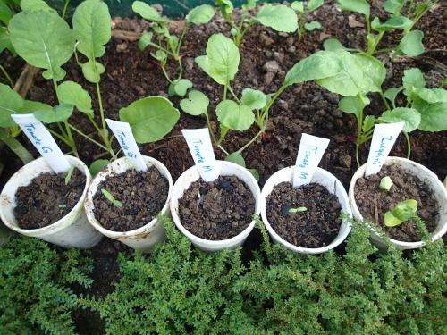野菜の種セットの試験栽培