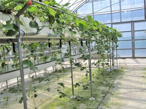 高設ベンチから垂れたイチゴのランナー子苗